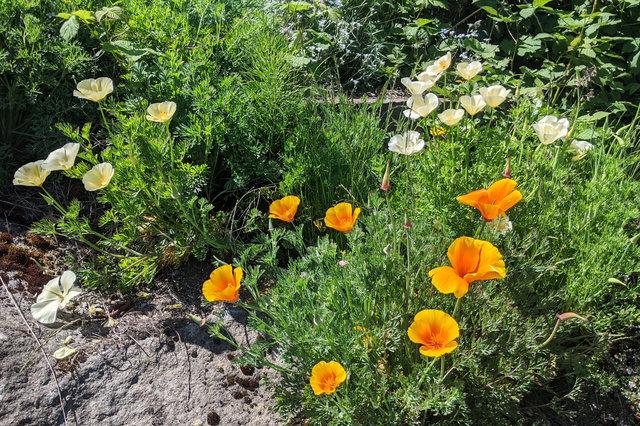 White and orange California poppies