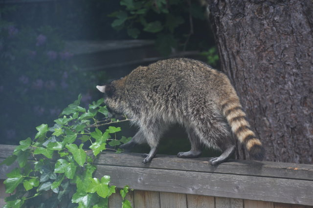 Raccoon walking on suburban fence