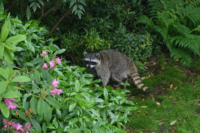 Raccoon in a suburban backyard