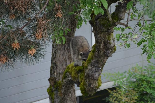 Raccoon climbs a tree