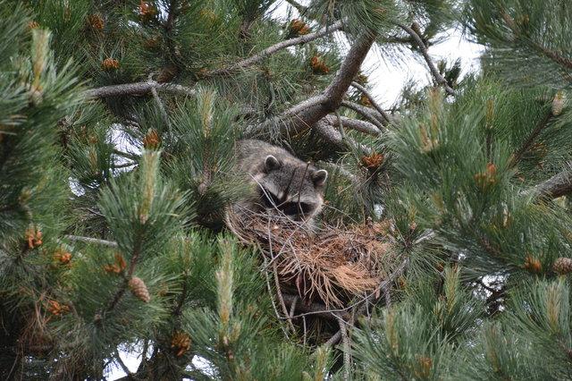 Raccoon nest in a pine tree