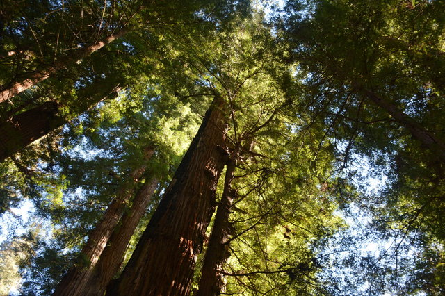 Towering trees at Henry Cowell Redwoods State Park
