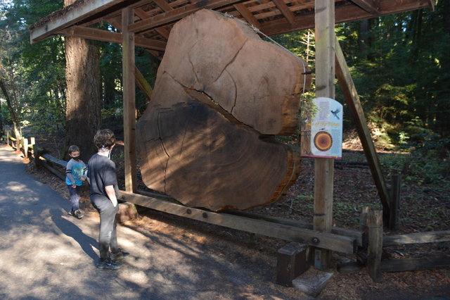 Julian and Calvin look at the redwood tree section