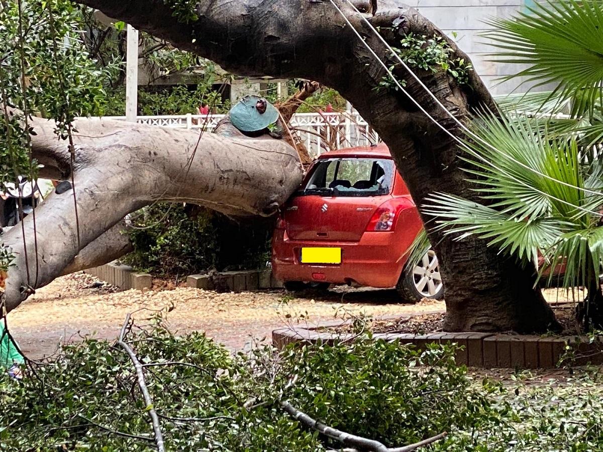 עץ פיקוס קרס בשכונת בורוכוב בגבעתיים, אין נפגעים בנפש