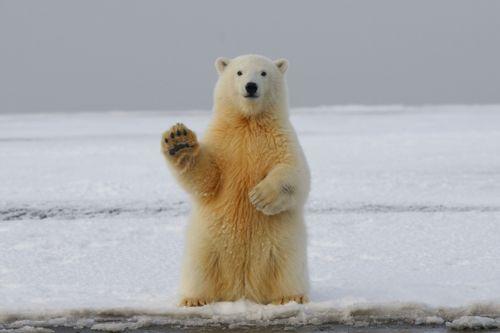 The polar bear is coming