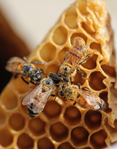 Robot Photon w świecie pszczół