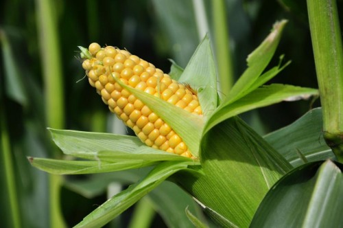 Mixed Crop Investment: Maize/Tomato Farm