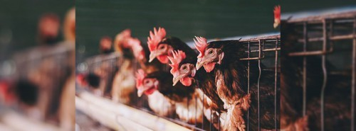 Poultry Farm In South West Nigeria