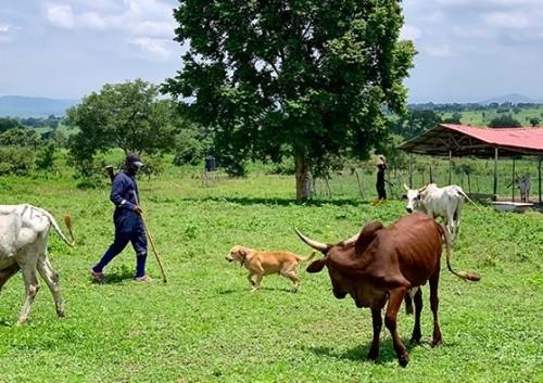 Cattle Herder Stock Program Investment