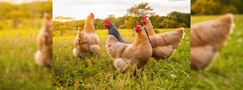Poultry Farm Investment
