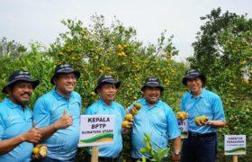 NPK Petro Nitrat Tingkatkan Panen Jeruk Siam Madu di Kab. Karo