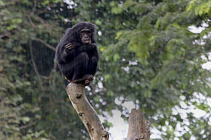 Chimpanzee at Mefou Primate Sanctuary in Cameroon. © John Novis