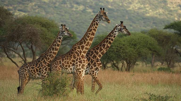 Giraffes in the Savanna in Kenya. © Markus Mauthe