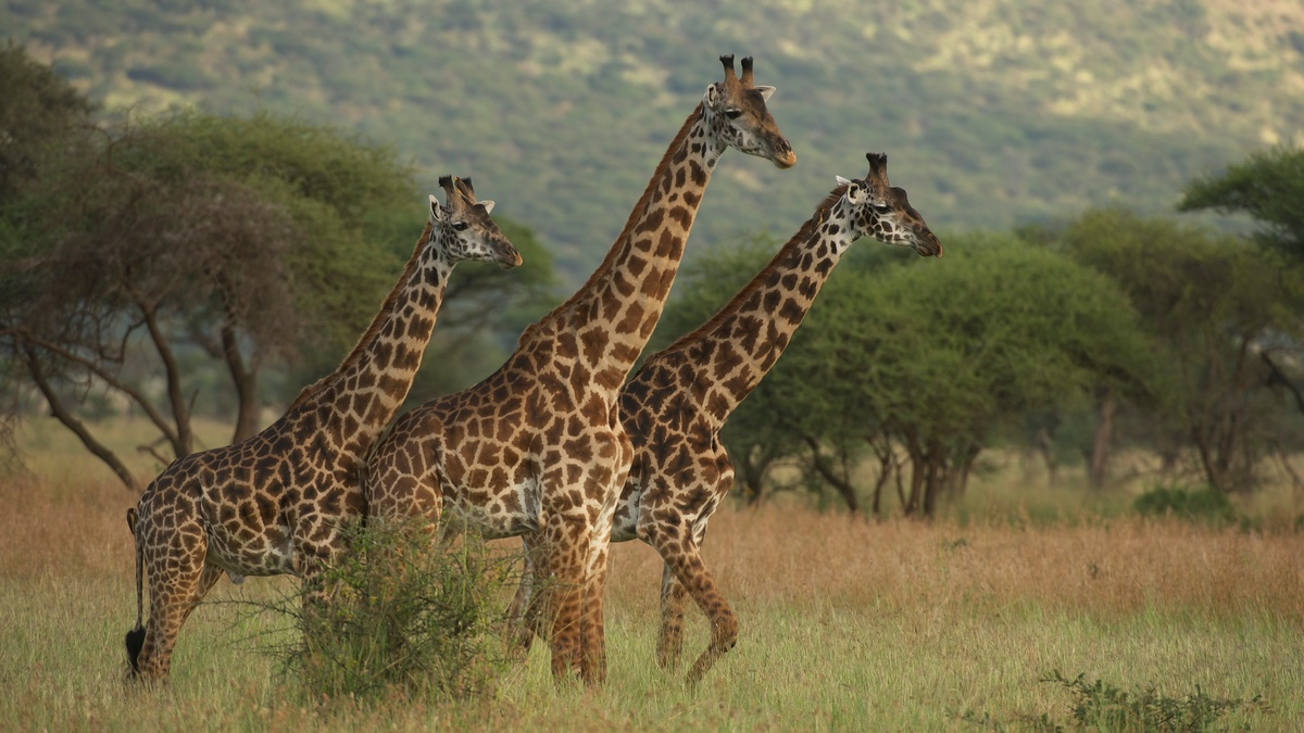 Giraffes in the Savanna in Kenya. © Markus Mauthe