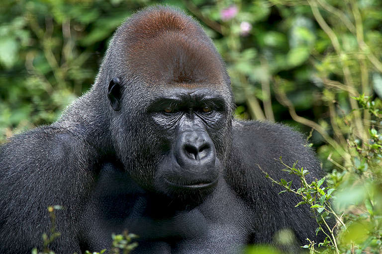 Gorilla at Mefou Primate Sanctuary in Cameroon. © John Novis