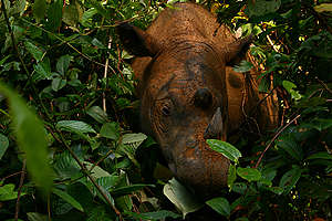 Rhinoceros in Sumatra. © Willem v Strien