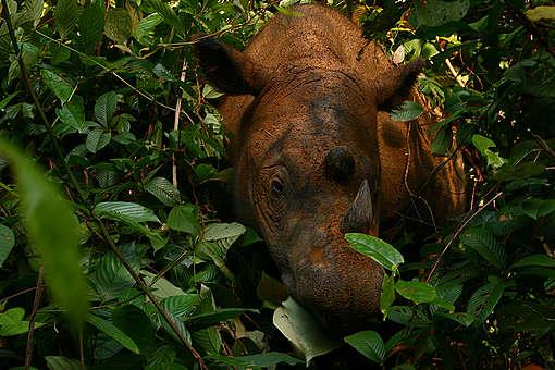 Rhinoceros in Sumatra. © Willem v Strien