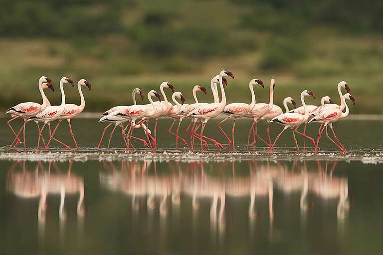 Flamingos in the Savanna in Tanzania. © Markus Mauthe