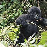 Réactive sur le changement du statut de conservation des gorilles des montagnes