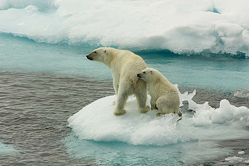 Polar Bears on Sea Ice. © Larissa Beumer / Greenpeace