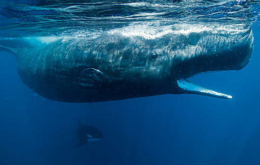 Sperm Whales in Sri Lanka. © Paul Hilton / Greenpeace