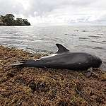 Dead and ailing dolphins on Mauritius' shores: Greenpeace calls for investigation