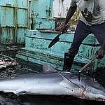 Millones de tiburones son asesinados en alta mar por la falta de regulaciones