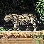 ¿Por qué es urgente proteger a los últimos 20 yaguaretés del Gran Chaco?