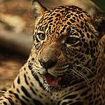 ¿El Banco Hipotecario podría llevar a la extinción al yaguareté?