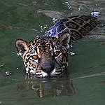 Diez razones para proteger al yaguareté antes de que desaparezca