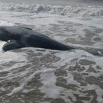 Sobre las siete orcas varadas en Mar Chiquita