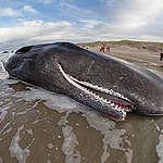 Menos ballenas en el Mar Argentino: Greenpeace revela las causas y responsables