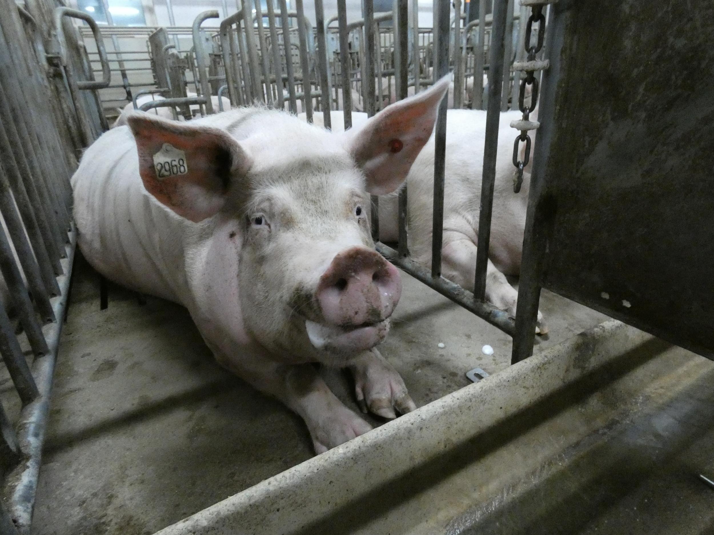 La instalación de 3 granjas industriales de cerdos en Chaco generarán más desmonte - Greenpeace Argentina