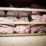 """Corona-uitbraak bij Westvlees: """"Onze vleesproductie is ziek systeem"""""""