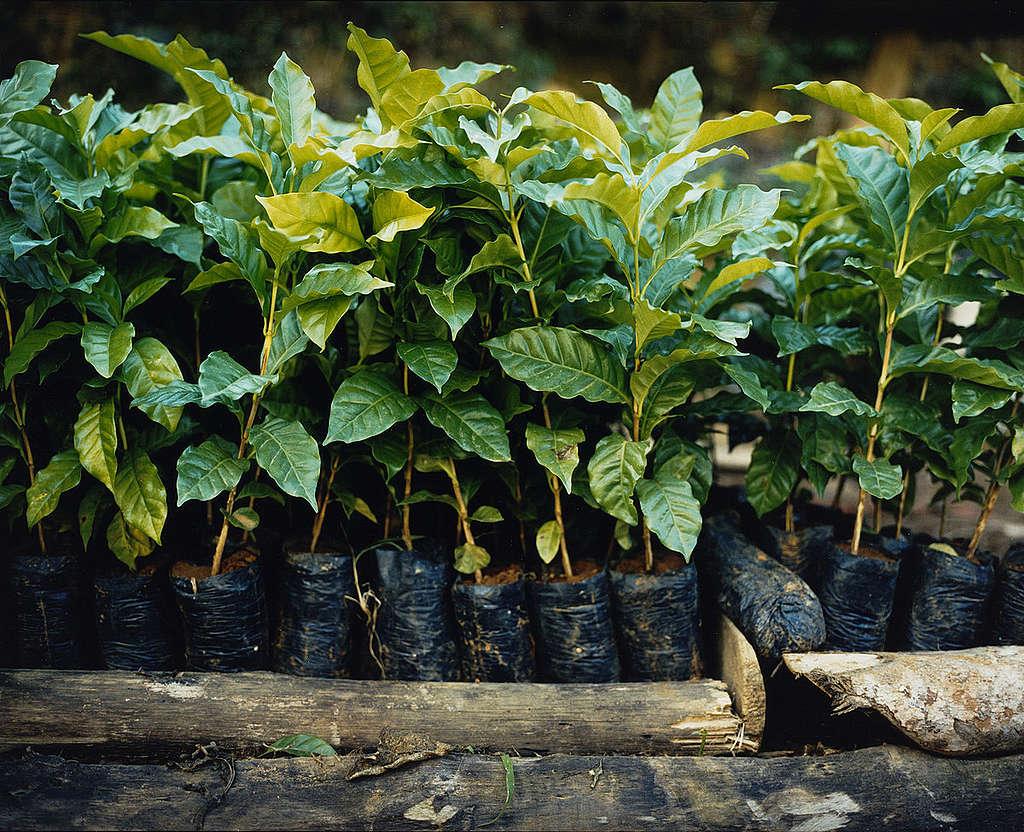 Detalhe de plantação agroecológica de café.