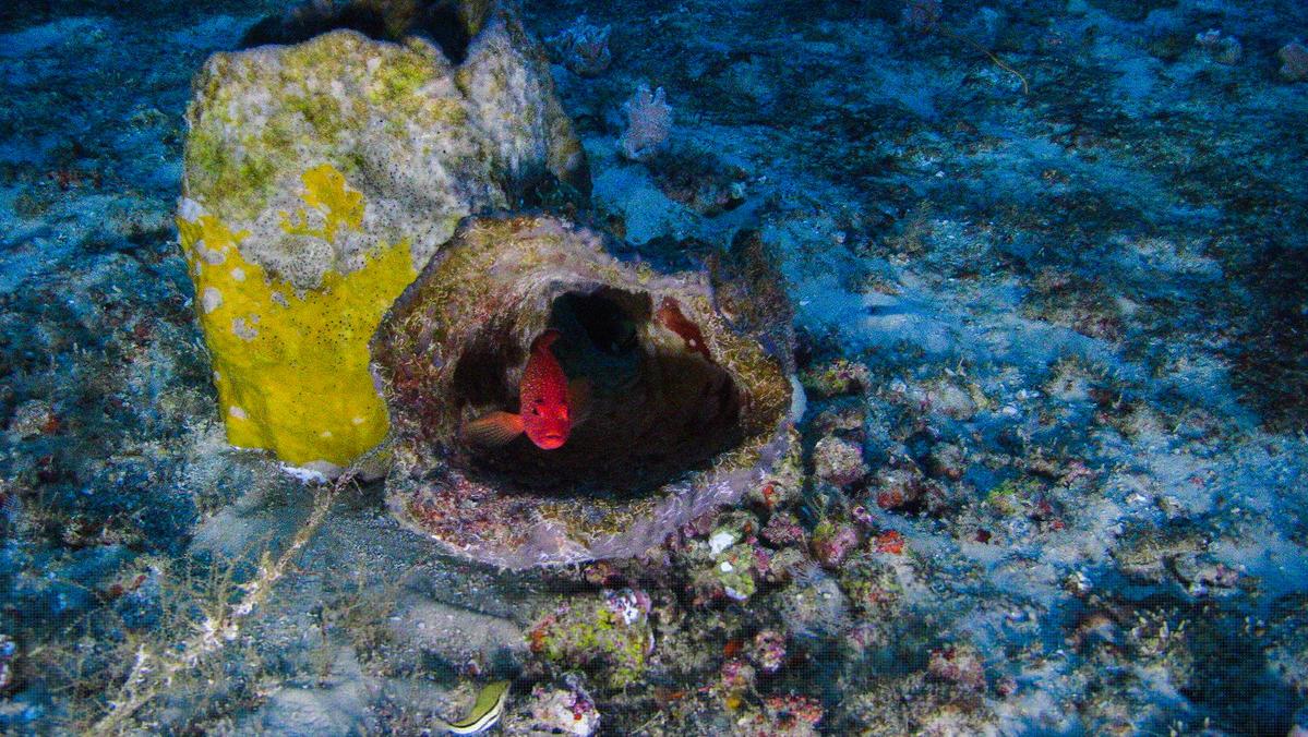 Peixe piraúna se esconde dentro de uma esponja-do-mar.