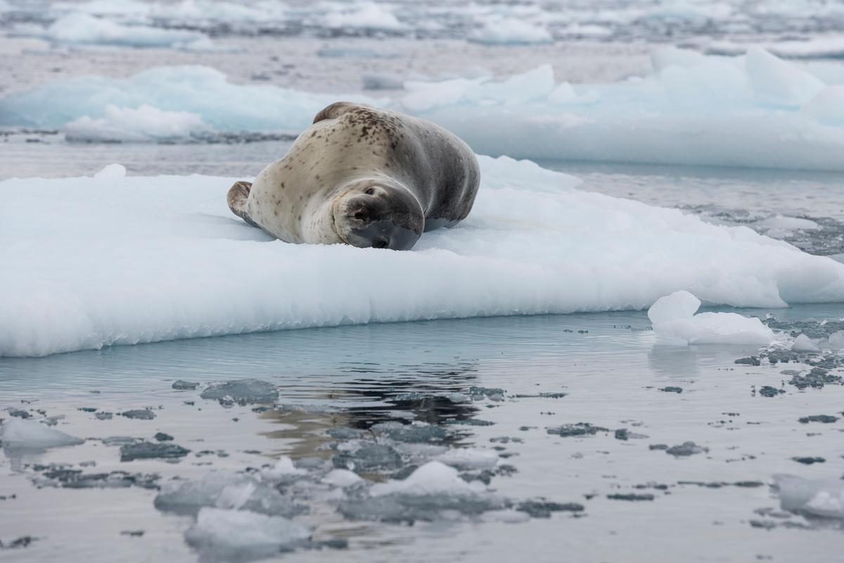 Foca-leopardo descansa numa placa de gelo na Antártida