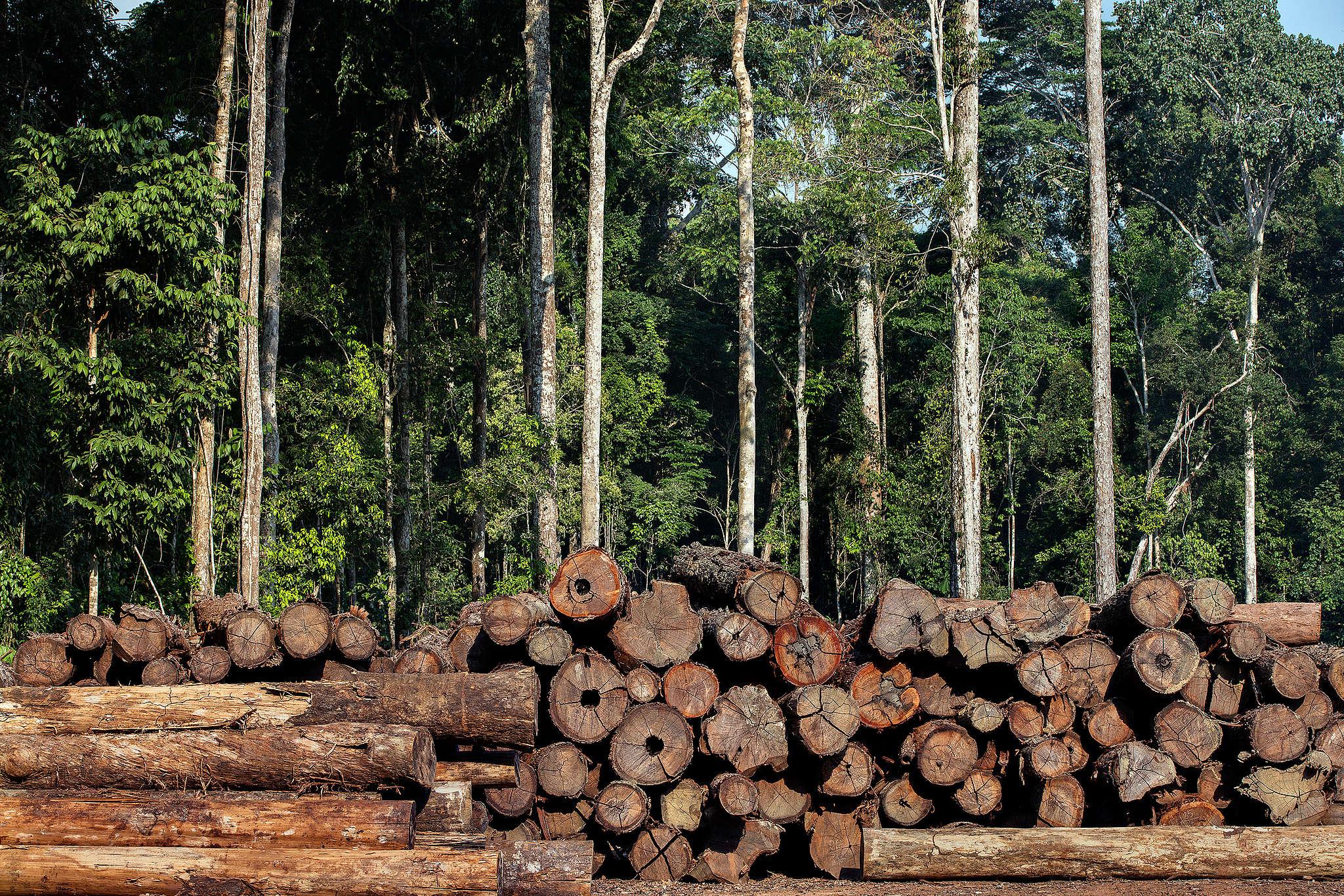 Toras de madeira ilegal são encontradas.