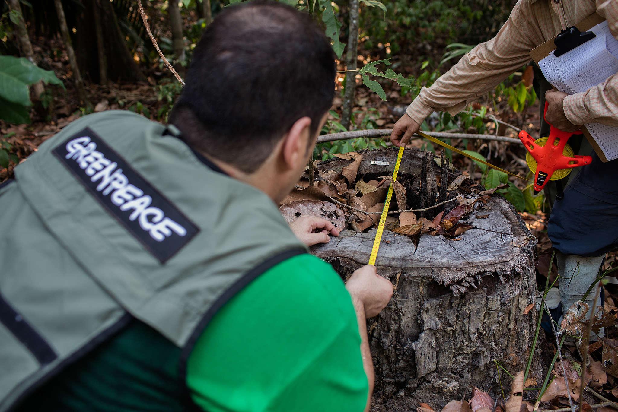 Equipe do Greenpeace e do Ibama analisam tora de madeira encontrada