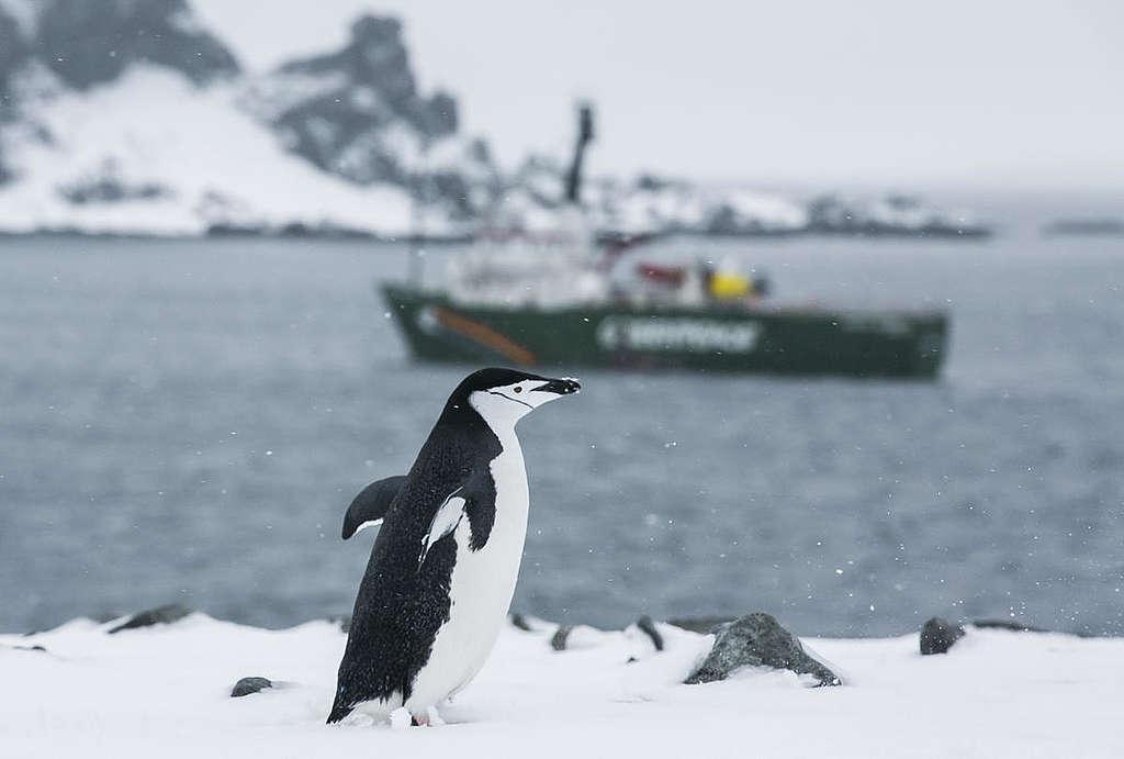 Pinguim-de-barbicha fotografado pela equipe do Arctic Sunrise na Antártida