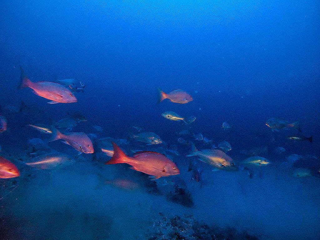 Na Guiana Francesa, peixes nadam na região onde estão recifes similares aos dos Corais da Amazônia