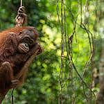 Orangotango abraçado em árvore na floresta da Indonésia.