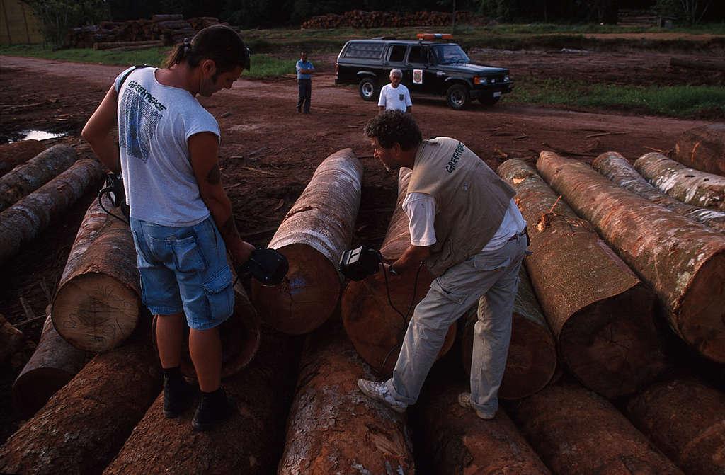 Ativistas do Greenpeace marcam madeira extraída ilegalmente.
