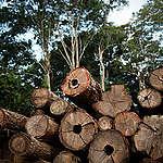 Estudo da USP mostra que extração de árvores valiosas tem indícios de fraude