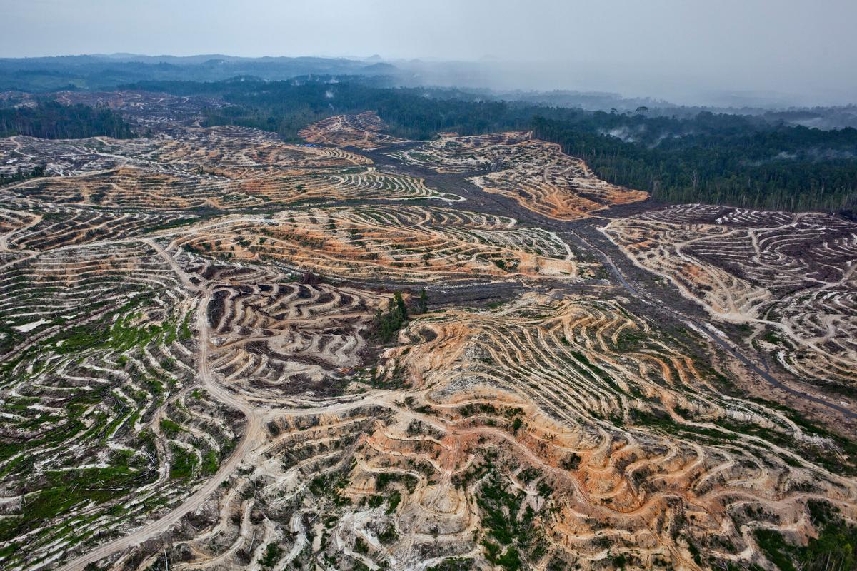 Floresta na Indonésia completamente desmatada para plantação de óleo de palma.