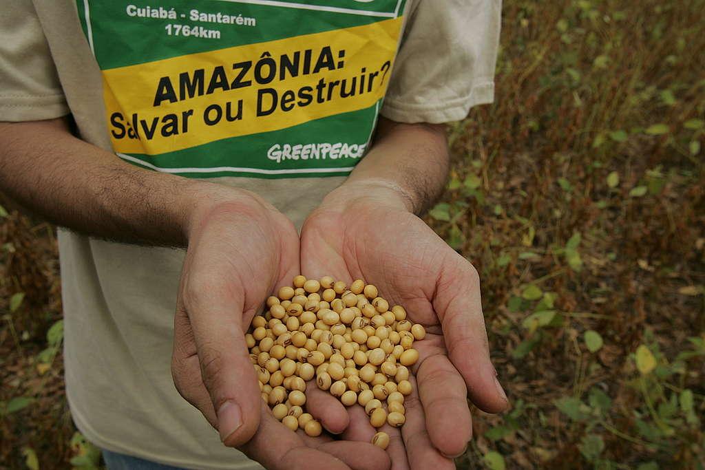 Grãos de soja na mão de ativista do Greenpeace.