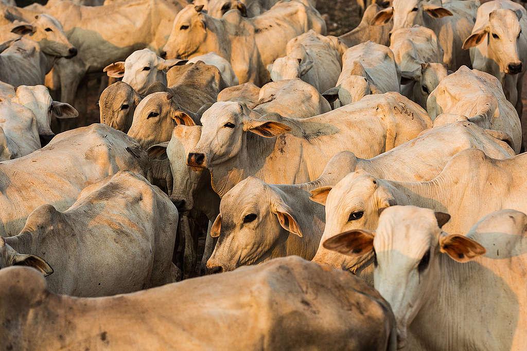 Gado é tocado por boiadeiros de volta à sede de fazenda.