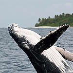 Salto da baleia jubarte © Scott Portelli