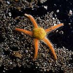 Ofiuróide encontrado no fundo do mar.