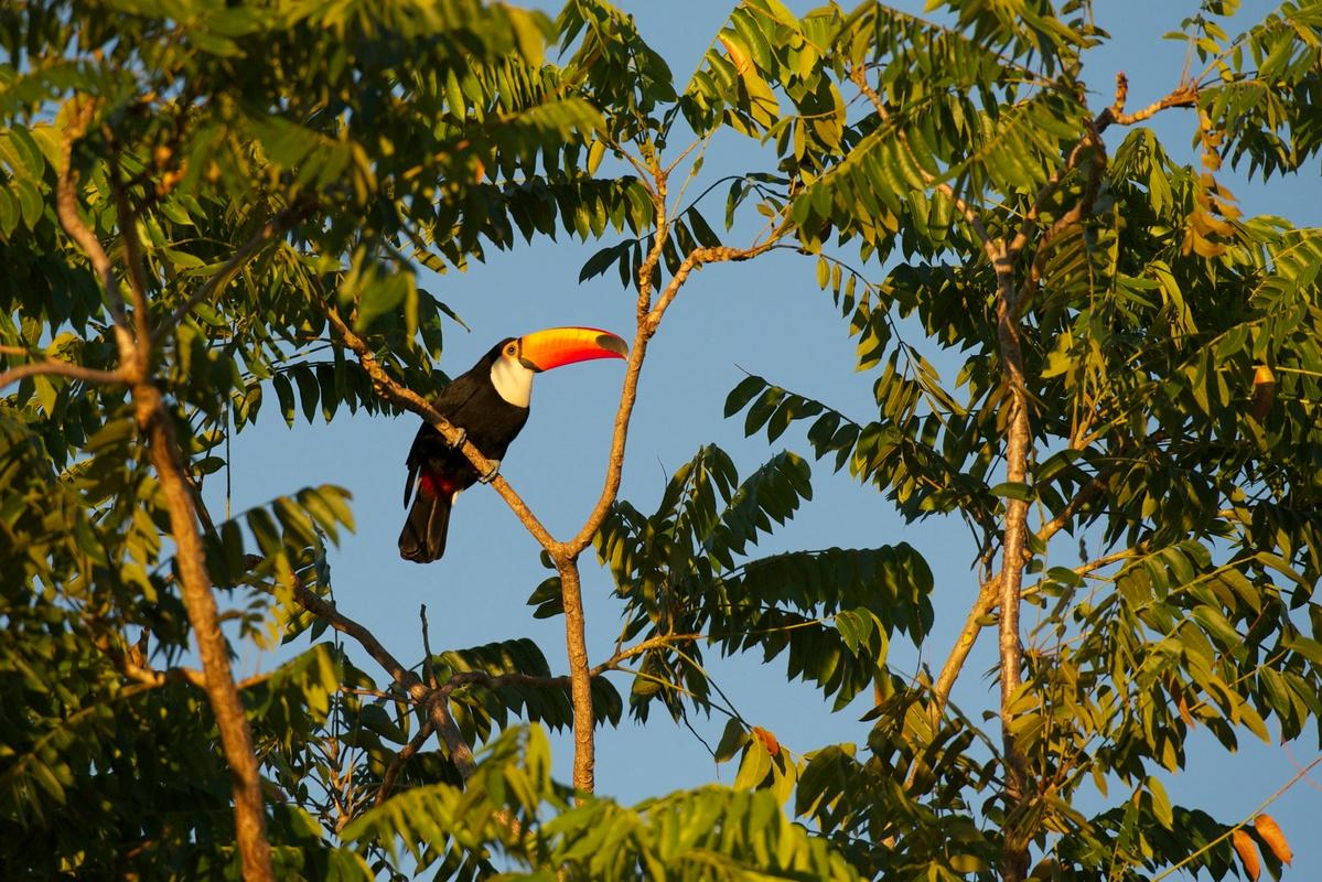 Tucano na floresta em Mato Grosso.
